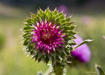 Musk Thistle Pagosa Springs Colo _0564