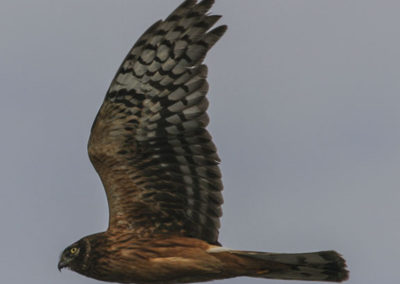 Northern Harrier Hawk Salt Lake Utah 179