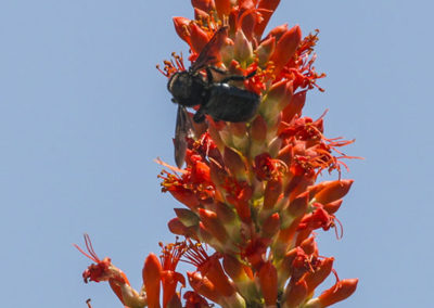 Ocotillo Flower Silver City NM 051