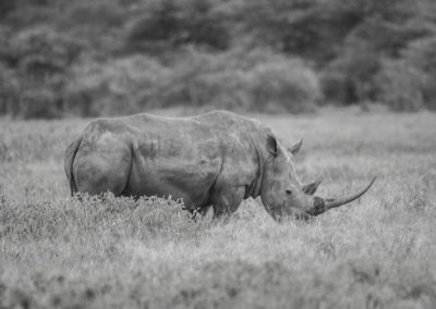 One of the LAST BLACK RHINOS Photographed in 2007 Extinct in 2011 4397