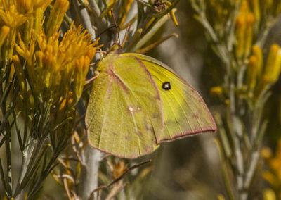 Orange Sulphur Butterfly on Rubber Rabbit Bush NM_0816