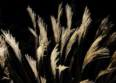 Ornimental-Grass-NM Back Lit-194
