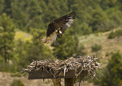 Osprey Feeding Young Flaming Gorge Utah 9574