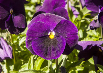 Pansy With Pollen Dust 4745
