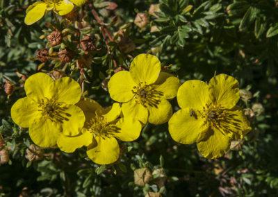 Peak Rush Rose Jemez Springs NM 059-2