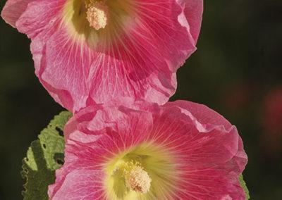 Pink Hollyhock Grand Teton NP009
