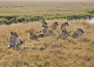 Pride of 9 Female lions Maasi Mara NP Kenya Africa_1139