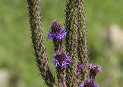 Purple Fringe Pecos NM 156