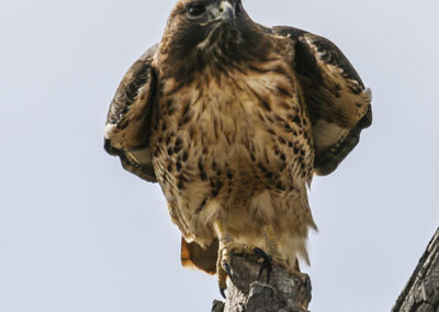 Red Tail Hawk 274