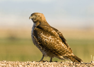 Red Tail Hawk Az 8262