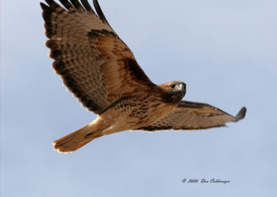 Red Tail Hawk flying close up Bosque del Apache 245