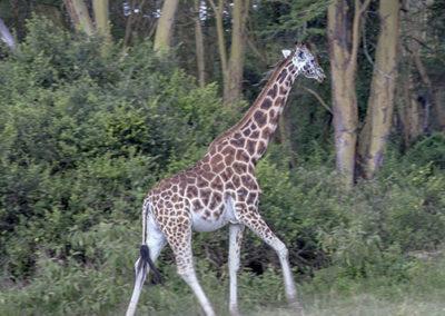Reticulated Giraffe Amboseli NP Kenya_0927