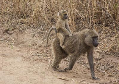 Ride Em Cowboy Yellow Baboons Tarangire NP Tanzania Africa_0383