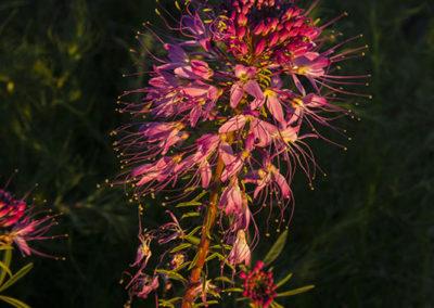 Rocky Mountain Bee Plant Colorado 7374