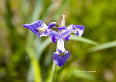 Rocky Mountain Iris 0003