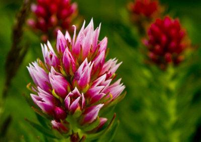 Rose Crown Rocky Mountan NP 0999