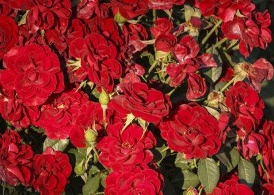 Roses Jackson Hole Wyoming 026