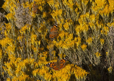 Rubber Rabbit Brush & Painted Lady Butterflies Silver City NM 3780