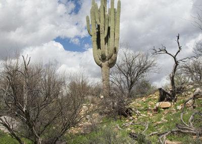 Saguaro Cactus_1480