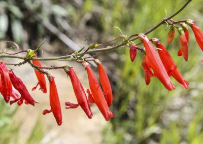 Scarlet Bugler Pecos NM 144