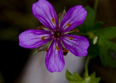Sierra Primrose Colorado_5324