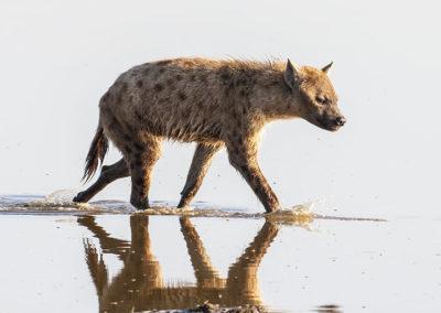 Spotted Hyena Lake Nakuru Kenya Africa 4845
