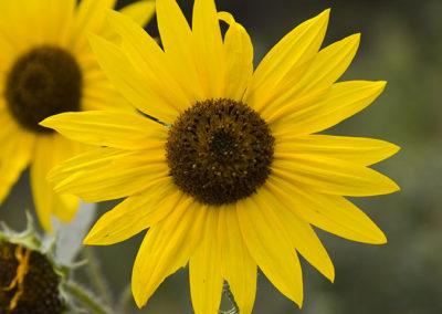 Sunflower_5311