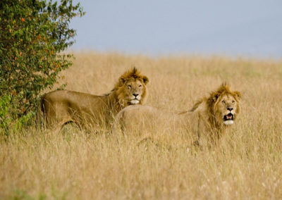 The Reigning King and Prince of Beasts Maasi Mara Kenya Africa 6280
