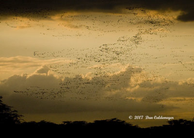Thousands of Flamingos Going to Roost at Night 4387