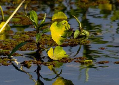 Water plants Lake Manyara Tanzania 1644