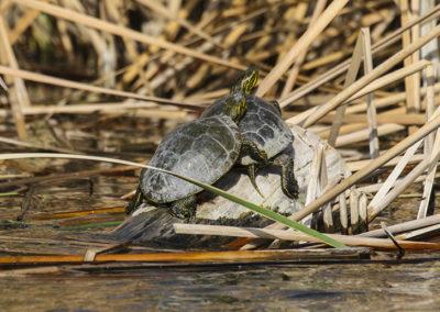 Western Chicken Turtle Bosque del Apache NM 012