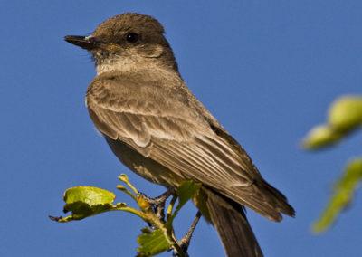 Western Kingbird_0028