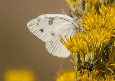 Western White Butterfly on Rubber Rabit Brush Silver City NM_0762