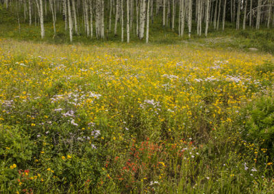 Wild Blue Aster Red Penstemon Yellow Aster Aspen Trees Colo 8471