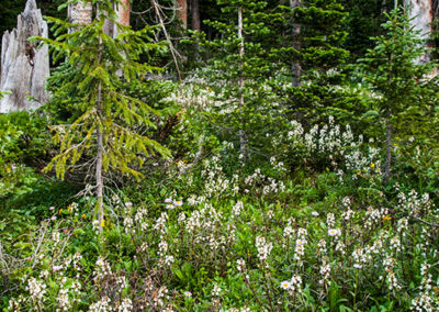 Wild-Blue-Aster-White-Aster-White-Draba-Fir-Trees-0953