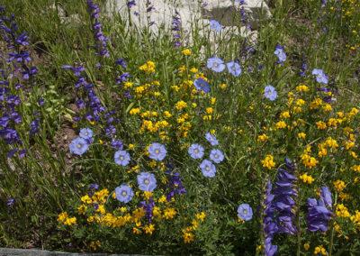Wild Blue Flax-Yellow Birdsfoot-Purple Penstemon Maroon Bells 7993