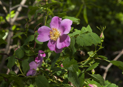 Wild Mountain Rose Maroon Bells Colo 7742