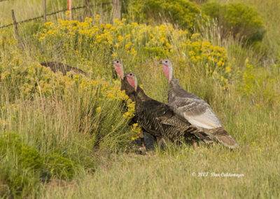 Wild Turkeys Bosque del Apache NM_2223