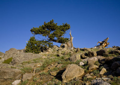 Windblown Bristlecone Pine Tree 3000 Yrs Old Mt Evans Colo_7349