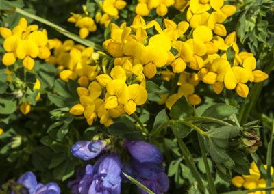 Yellow Birdsfoot & Purple Penstemon 8024
