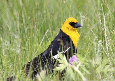 Yellow Headed Blackbird Crested Butte Colo 108