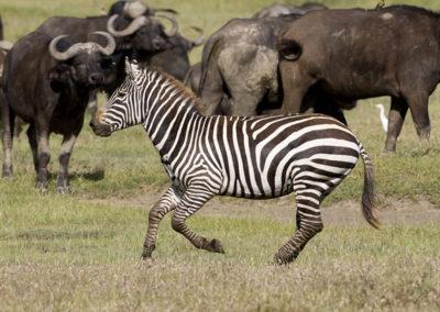 Zebra Running Cape Buffalo Maasi Mara Kenya 4122
